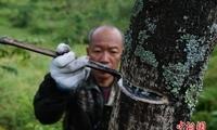 贵州大方大山里的割漆人
