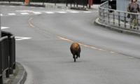 野猪袭击日本女高中生臀部 逃跑途中遭火车撞死