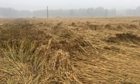 2018年小麦产量、质量、价格、品质、后市、降雨