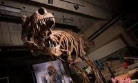 史上最大暴龙揭晓 重8800公斤花数十年重建骨骼