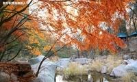 秋趣映笑靥,崂山枫叶妆走红