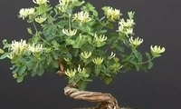 种一盆金银花,黄白交错,视觉意境升华!