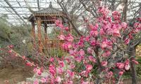 河北燕郊植物园第六届梅花迎春展开展