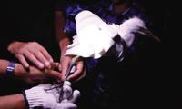 天津首次为回家庄鹭园的鹭鸟安装环志 方便研究