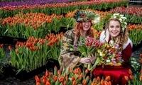 荷兰庆祝全国郁金香日 民众免费采摘鲜花