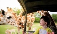 三岁萌娃路遇贪吃长颈鹿 大胆喂食画面超暖
