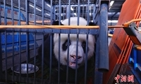 """大熊猫""""伟伟""""鼻头手掌发白 回都江堰基地进行调养"""