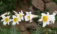 """农村里一种野花,不仅好看还是""""润肺""""良药,常吃咳痰不再有"""
