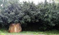 【贵茶飘香】花溪:古茶树焕发新活力
