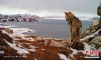 黄河源地区拥有健康雪豹种群 且在繁殖