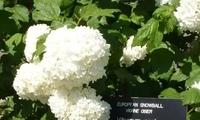 可以长4、5米的绣球花?能够适应各种环境的开花灌木