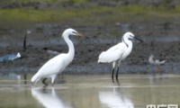 湛江首次影像记录到珍稀水鸟黄嘴白鹭